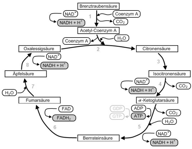 stoffwechsel zusammenfassung